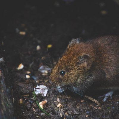 animal-bank-vole-blur-1010267