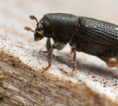 Hylastes barkbeetle on wood